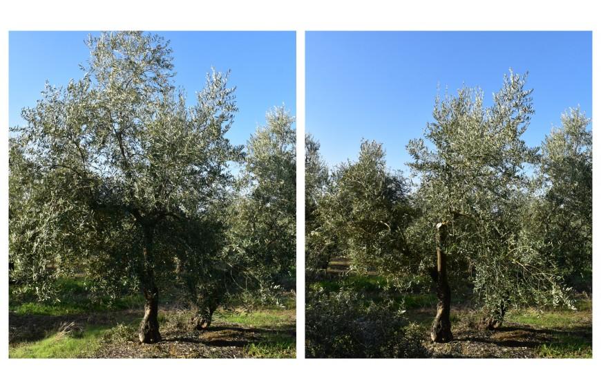 Poda del olivar en un cultivo sostenible: todo lo que necesitas saber
